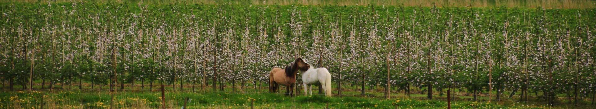 Folgeseite-Pferd+Obstblüte